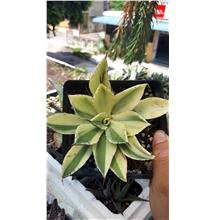 Agave Potatorum Kisshoukan Special Variegation (2)