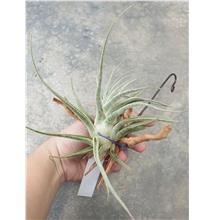 Tillandsia Ehlersiana (From EU country)