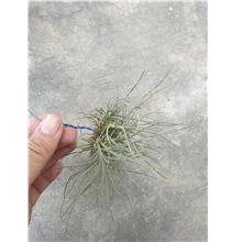 Tillandsia Bandensis Clump (Different Form)Thin leaf
