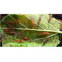 Red Cherry Shrimp Food Makanan Dried Mulberry Leaf Leave Organic
