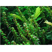 Rotala SP Pearl Green Submersed Aquarium Aquascape Aquatic Plant