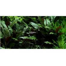Cryptocoryne Petchii Aquarium Aquascape Aquatic Plant