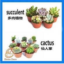 Real Live Plant Cactus Succulent With Small Plastic Pot