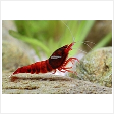 Caridina Cantonensis Extreme Wine Red Aquarium Shrimp (5 free 1)