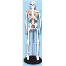 Model of Human Skeleton 42cm with Iron Stand
