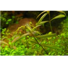 Hygrophila SP Tiger Submerged Aquarium Aquascape Aquatic Plants