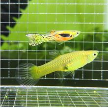 Endler Cobra King Guppy ( Pair ) Freshwater Aquarium Fish