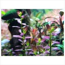 Rotala Ramosior Florida Aquascape Aquatic Plant