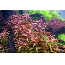 Ammania sp Sulawesi Aquascape Aquatic Plant