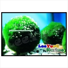 Japan Cladophora Aegagropila Giant Marimo Ball Buy More Get More Free
