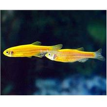 Yellow Zebra Danio Fish (Live Stock / Aquarium)