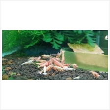 Caridina Cantonensis Golden Bee Aquarium Shrimp (5 free 1)