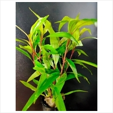 Hygrophila Stricta (Aquarium / Aquatic Plant)