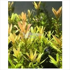 Rotala Macrandra Bangladesh Submerged Aquascape Aquatic Green Plant