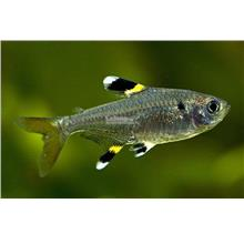 Pristella Tetra (Live Stock / Aquarium Fish)