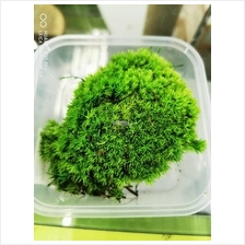 Preservative Pole Moss (Decoration Preserved Plant)