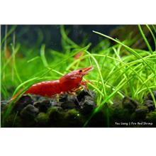 Fire red shrimp neocaridina 5 piece