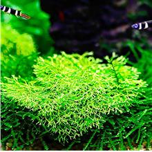 Riccia Fluitans Submerged Aquarium Aquascape Carpet Plant