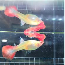 Koi Guppy Fish Fresh Water ( Pair )