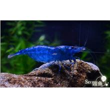 Blue Diamond Neocaridina Shrimp (5pcs for $35)+free 2 pcs