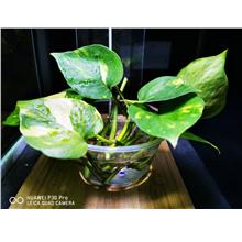 Devil's ivy / Money Plant 万年青 (Wihout Pot)